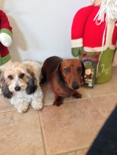Daushunds doxie Xmas pic