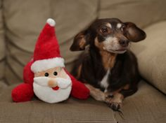 Katie the dachshund as cute can be....more photos on Furever Dachshund Rescue's blog! Come see!