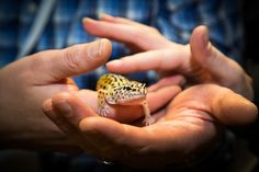 Our Leopard Geckos are always popular, adding the 'Aaah' factor. A great way to start building confidence & overcome fears.  More information at www.meetthebeasts.com & www.helpconfidence.com.