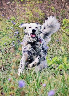 """Click visit site and Check out Cool """"English Setter"""" T-shirts. This website is superb. Tip: You can search """"your name"""" or """"your favorite shirts"""" at search bar on the top. Beautiful Dogs, Animals Beautiful, Cute Animals, Irish Setter, English Setter, I Love Dogs, Cute Dogs, Dogs And Puppies, Doggies"""