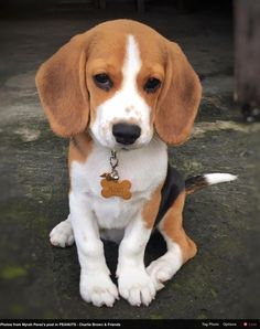 Are you interested in a Beagle? Well, the Beagle is one of the few popular dogs that will adapt much faster to any home. Baby Beagle, Mini Beagle, Beagle Puppy, Pocket Beagle Puppies, Cute Beagles, Cute Puppies, Dogs And Puppies, Doggies, Cute Baby Animals