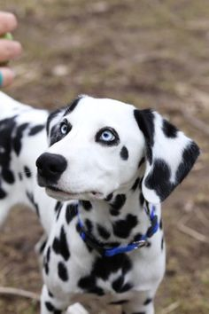 I chose this picture because I love the dog's blue eyes. They are so pretty.