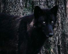Jet black wolf~