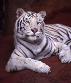 Photo of white tiger for fans of Tigers 185807 White Tiger Pictures, Tiger Images, White Bengal Cat, White Cats, Angry Tiger, Pet Tiger, Leopard Eyes, Cat Toilet Training, Exotic Cats