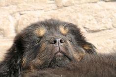 Mani Tibetan Mastiff, Dogs, Animals, Animales, Animaux, Pet Dogs, Doggies, Animal, Animais