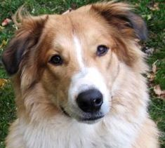 Silver Dollar's Smitty | Old-Time Scotch Collie Pedigree Database