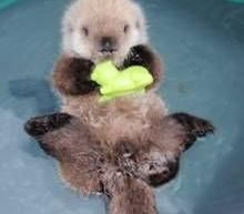 Baby Sea Otters   Orphaned Sea Otter Lives Happily in the Big Apple   Gowanus Lounge