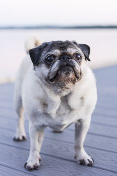 179 Best Pugs images in 2019 | Dog tags, Pug, Pug dogs