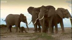 Elephant calf: Wildlife Specials: Elephant - Spy in the Herd, via YouTube.