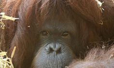 Orangutan learns how to whistle tunes and mimic human speech