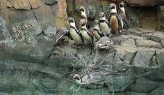 Kansas City Zoo Penguins