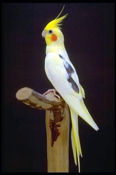 Specific color Lutino cockatiels are a color mutation of the original gray cockatiel. Description from katurise.tumblr.com. I searched for this on bing.com/images