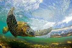 The Hawaiian Sea turtle - repinned for www.CavemenTimes.com