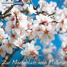Mallorca ist nicht nur im Sommer eine Reise wert.  Zu ihrer vielleicht schönsten Seite zeigt sich die Insel während der Zeit der Mandelblüte im Februar. 🌸 Erleben Sie ein Meer weißer und rosafarbener Blüten mit ihrem zarten Duft. Starten Sie doch einmal so in den Frühling, wir beraten Sie gerne! 😃 #ReisebüroWagner #Werne #Mallorca #Mandelblüte Flowers, Plants, Pink Flowers, February, Island, Majorca, Summer, Viajes, Plant