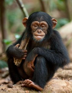 Oscar is now the most known chimp in the world