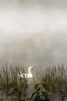 ~ Swan in the mist ~