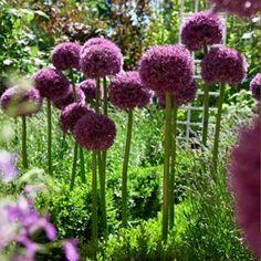 Allium Bulbs Pinball Wizard, Allium - Fall Bulbs from American Meadows
