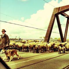 Unter Schafen - @wirjetzthier- #webstagram