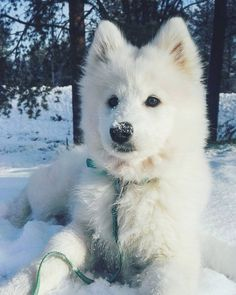 As Soft as. this Samoyed! 30 Gorgeous Samoyed Dogs and Puppies To Brighten Your Day - JustViral. Fluffy Dogs, Fluffy Animals, Animals And Pets, Baby Animals, Cute Animals, Cute Fluffy Puppies, Beautiful Dogs, Animals Beautiful, Malamute