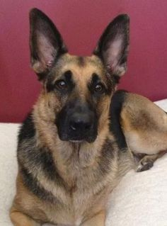 TOP STORY- Army dog lost or stolen in Maryland http://www.pawsforreaction.com/missing-army-dog.html