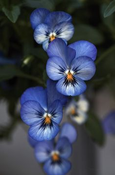 Hottest Images Violet flower Popular With their incredibly fashioned wooly actually leaves, his or her stream-lined framework along with Exotic Flowers, Amazing Flowers, Pretty Flowers, Flower Aesthetic, Flower Pictures, Flower Wallpaper, Pansies, Violas Flowers, Belle Photo