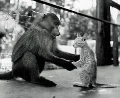 NatGeo Flashback Photos: Baboon Teaching a Kitty How to Sit Properly (Like a Baboon) and Mowin' the Lawn at Stonehenge Funny Animal Memes, Funny Animals, Cute Animals, Raising Kittens, Unlikely Animal Friends, Teach Dog Tricks, Animals And Pets, Wild Animals, Animal Pictures