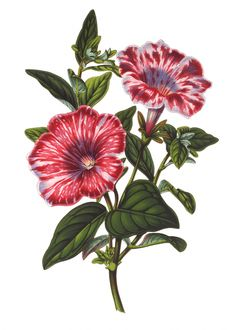 Petunia Striata Formosissima from the Flore de Serres et des Jardins de l'Europe (Flowers of the Greenhouses and Gardens of Europe). Founded by Louis van Houtte, owner of the most successful nursery of the time on the European continent. Vintage Botanical Prints, Botanical Drawings, Botanical Illustration, Art Floral, Botanical Flowers, Botanical Art, Petunia Tattoo, Decoupage, Impressions Botaniques