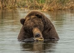 "This Alaskan Brown Bear known as 410, ""4 TON"", is a..."