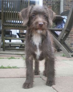 Jackapoo- jack russell terrier cross poodle (Ben)