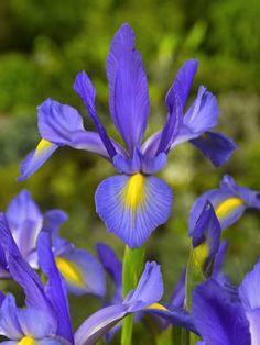 Blue Magic Iris
