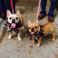 Two cutie patootie Frenchies. Gigi & her buddy, Arnaud at Whole Foods Barktoberfest! #LifeWithGigi