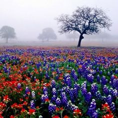 ✯ Texas Flowers - Blue Bonnets and Indian Paintbrushes.