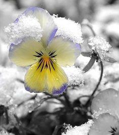 Snow on Violas