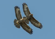 Pair of Common Buzzards came over the South Coast Road at Newhaven
