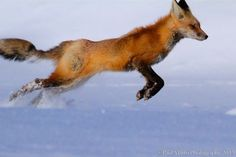 """""""red fox is on its track again..."""""""