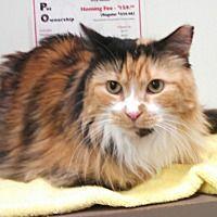 Scottsdale Az Domestic Longhair Meet Golden One A Cat For Adoption Cat Adoption Pets Pet Adoption