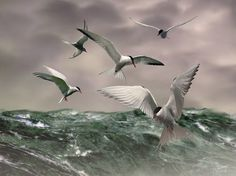 """""""Arctic Terns at Sea"""" by I.M. Spadecaller, Tampa Bay // Birds flying over ocean art"""