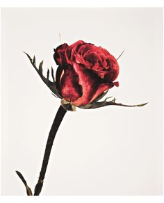 Irving Penn | © Pleasurephoto | Page 22 Irving Penn Flowers, Black And Red Roses, Still Life Photos, Galleries In London, Fine Art Auctions, Color Photography, Life Photography, Photo Art, Instagram Posts