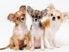 gambar anjing chihuahua