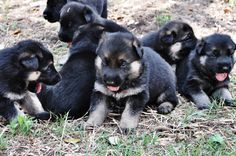 New baby German Shepard pups.  My best friend breeds them. Aren't they cute?
