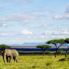 Stamp #630 - Kenya : African Wildlife Safari  Visiting the Masai Mara Nationalpark in Kenya is an amazing opportunity to see African wildlife including the big 5. Go camping in the park to save money because lodges are very expensive'  Thank you @german_backpacker for leaving your #ShareYourStamp!!  For more awesome #travel and #wanderlust tips and #adventure download the Stamp Travel #App Today. The link is in our bio! --------------------------------------------------       #traveling…