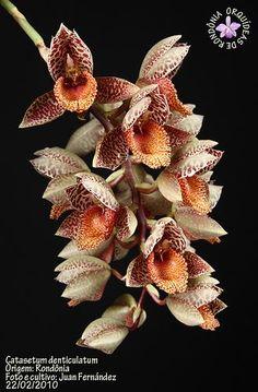 Catasetum denticulatum.
