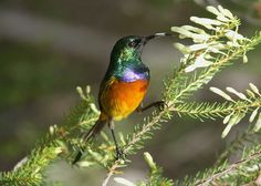 Orange-breasted sunbird Breast, Birds, Beautiful, Orange, Nature, Pictures, Animals, Collection, Facebook