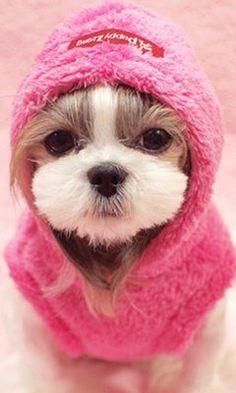 Stylish Shih Tzu puppy