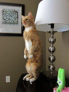 my crazy standing cat - Sherbert