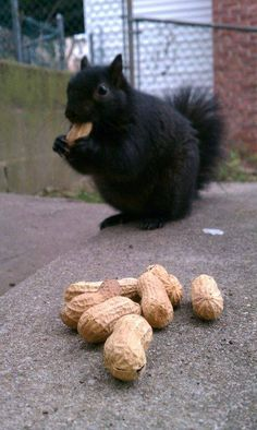 The black squirrel is a melanistic subgroup of the eastern grey squirrel. They are common in the Midwestern United States, Ontario, Quebec, parts of the Northeastern United States and Britain.