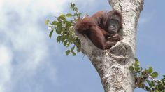 To die for Palm Oil? No thanks! (petition)