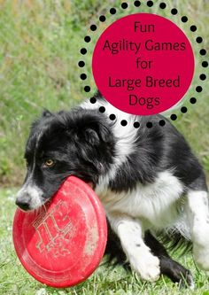 Keep your big pooch in shape with these fun agility games for large breed dogs! We bet you'll even stay in shape too!