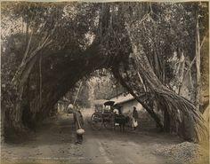 Banyan Tree on the Point De Galle Rd in old Ceylon - now Sri Lanka 1880s