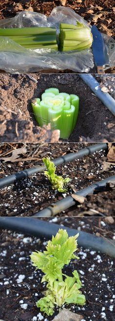 Planting a celery bottom will produce a new stock of celery!
